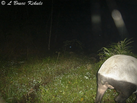 Asian tapir female passing through in Huai Kha Khaeng