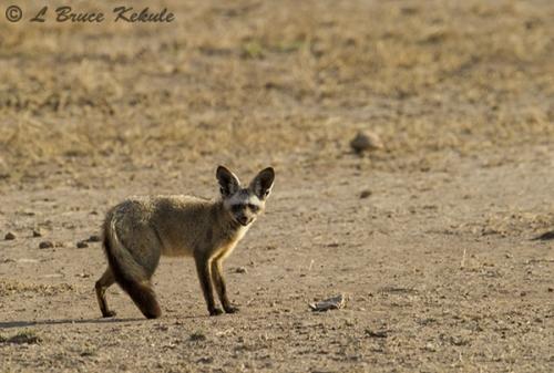 Bat-eared fox 1