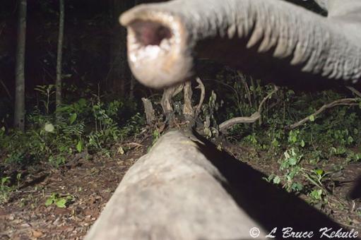 Elephant's trunk in Huai Kha Khaeng