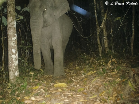 Elephants in Huai Kha Khaeng