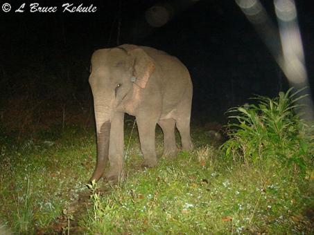 Elephant in Huai Kha Khaeng