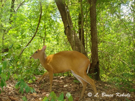 Female muntjac (barking deer) with a W55