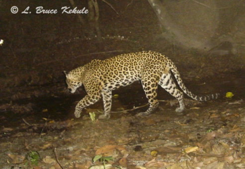 leopard-in-stream