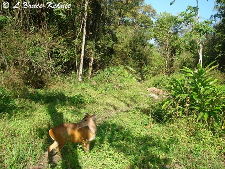 Muntjac and habitat in Huai Kha Khaeng