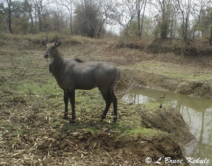 Neelgai (Blue Bull) in Tadoba