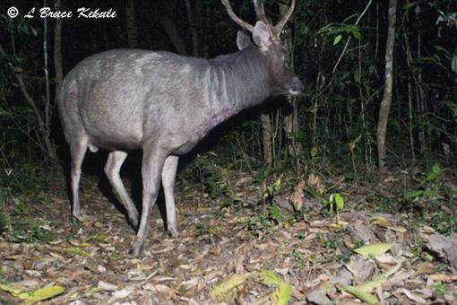 Sambar stag in Huai Kha Khaeng