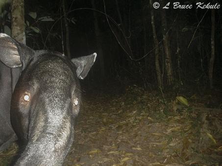 Tapir in Huai Kha Khaeng