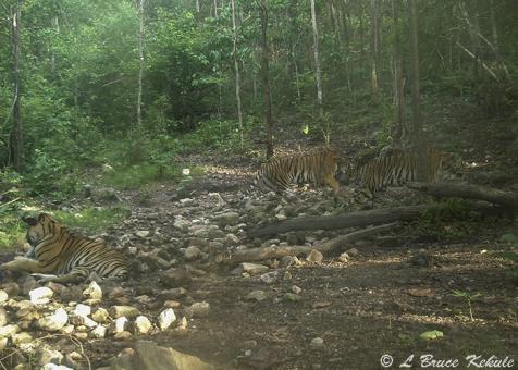 Three tigers in HKK