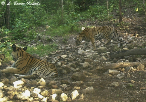 Tigers in Huai Kha Khaeng Wildlife Sanctuary