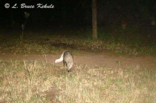 White-tailed mongoose in Kenya