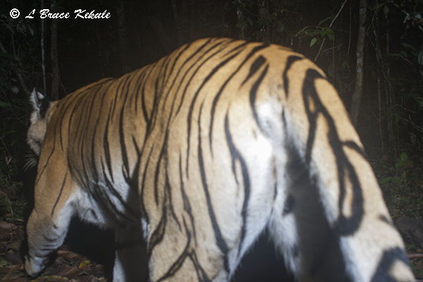 Indochinese tiger caught by a DSLR Canon 350D camera trap