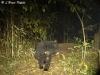 Asiatic sun bear in Huai Kha Khaeng Wildlife Sanctuary