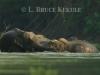 elephants-in-the-huai-kha-khaeng-river_0