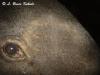 Asian tapir eye