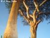 Giraffe at leopard tree