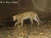 leopard-in-stream