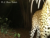 Leopard caught by W55