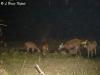 Sambar herd in Huai Kha Khaeng