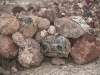 S40 Camera trap in Amboseli bat-eared foxes