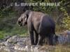 Tuskless bull elephants in HKK