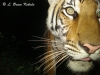 Young tiger caught by Sony W55