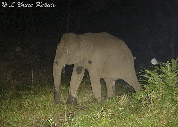 Elephant young tusker in Huai Kha Khaeng