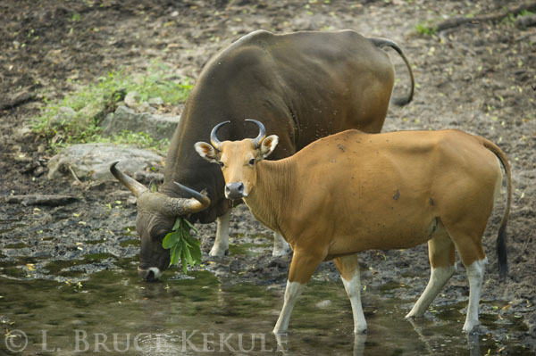 Banteng bull and cow in Huai Kha Khaeng