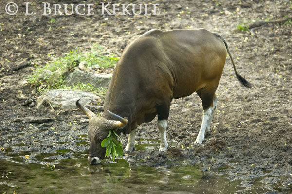 Banteng bull in Huai Kha Khaeng
