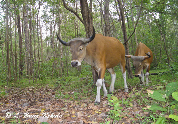 Banteng bulls in Safapha