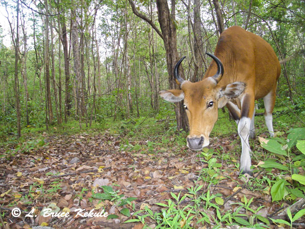 banteng-cow