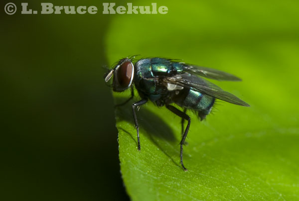 Blow fly in Huai Hin Hills