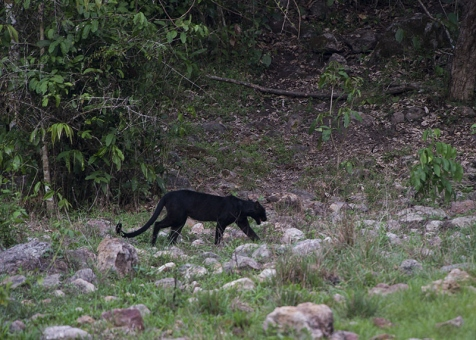 Black leopard at Kabook Kabieng hot springs in Huai Kha Khaeng