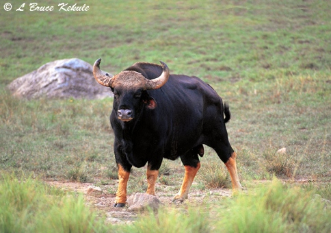 Gaur bull in Huai Kha Khaeng Wildlife Sanctuary
