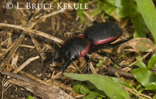 Coppery-bordered beetle in Thung Yai