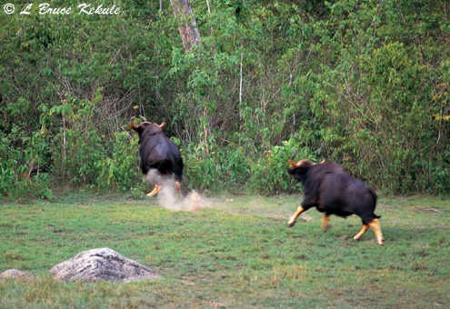 Gaur bulls chasing in Huai Kha Khaeng Wildlife Sanctuary