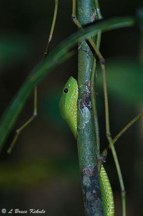 Green-bellied pit viper in Kaeng Krachan NP