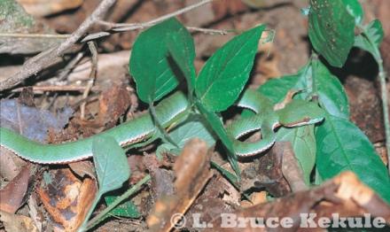 Green-bellied pit viper in Kaeng Krachan