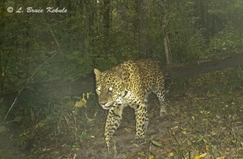Leopard camera trapped in Sai Yok