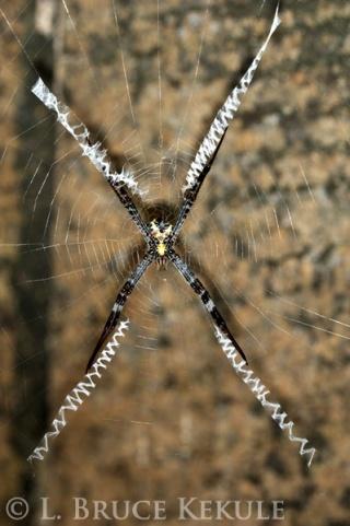 Orb web spider in Huai Kha Khaeng
