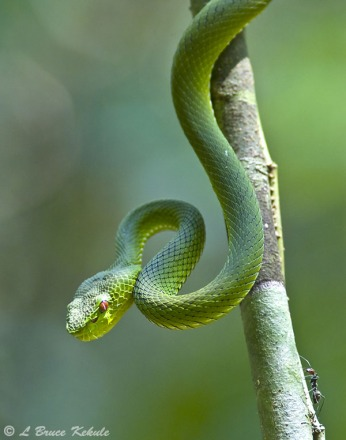 Yellow-bellied pit viper in Kaeng Krachan NP