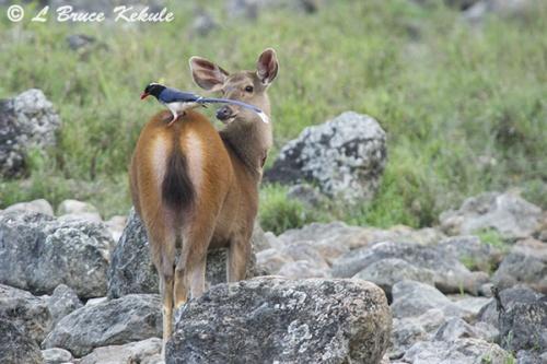 Sambar doe and blue magpie in Huai Kha Khaeng