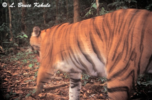 Indochinese tiger in Kaeng Krachan NP