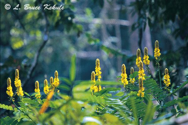 Candelbra bush flowers in Sai Yok