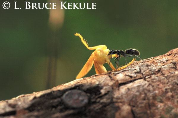 Carpenter ant and prey