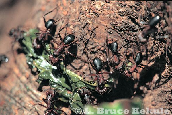 Carpenter ants in Thung Yai