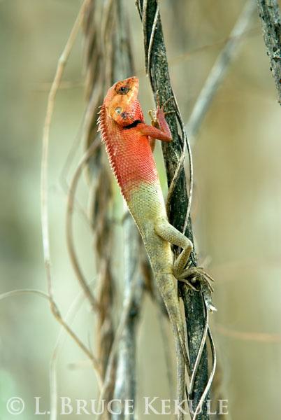 changeable-lizard_0