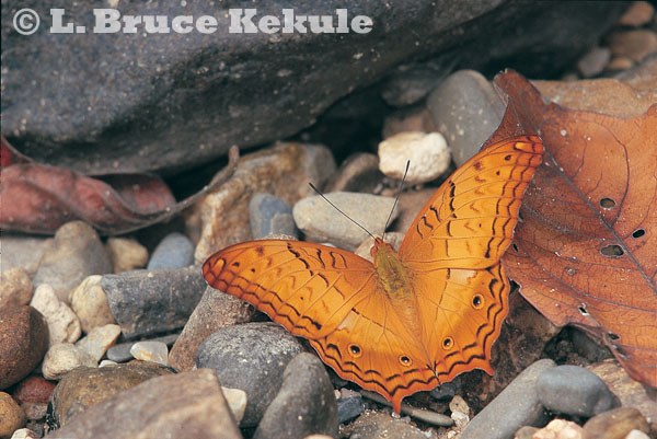Cruiser butterfly in Sai Yok