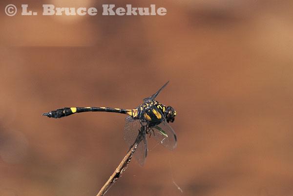 Dragonfly in Thung Yai