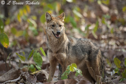 Asiatic jackal in HUai Kha Khaeng Wildlife Sanctuary