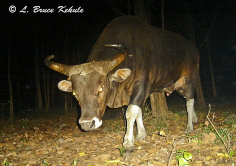 Banteng bull in Safapha
